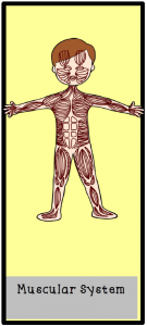 Musculatory System Card Side 1